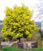 Acacia dealbata tree 2.jpg