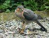 Accipiter nisus kill.jpg
