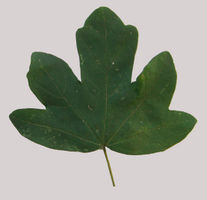 Acer campestre single leaf grey background JR Press.jpg
