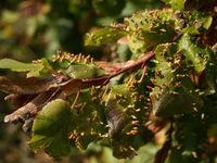 Beutelförmige Galle an der Winter-Linde im Oktober (Foto: Siegfried Kehl)