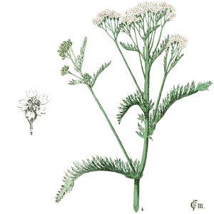 Gemeine Schafgarbe mit schematischer Zeichnung der Blüte der oberen Hälfte der Pflanze—Abbildung aus Millspaugh 1887