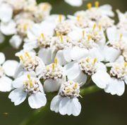 Die Blütenkörbe bestehen aus vier oder fünf Zungenblüten und bis zu zwanzig Röhrenblüten. Die Zungenblüten haben nur Narben. (Bild: W. Wohlers)