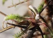 Links ein altes Blatt mit den weit auseinanderliegenden Fiedern. Bei jungen Blättern sind die Fiederblättchen eng gepackt. (Bild: W. Wohlers)