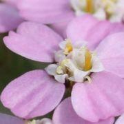 Zierformen sind meistens ganz rosa. (Bild: W. Wohlers)