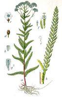 Achillea millefolium Sturm13039.jpg