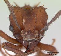 Acromyrmex rugosus casent0173802 head 1.jpg