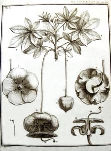 Adanson, gravure du baobab (Adansonia digitata) 02.png