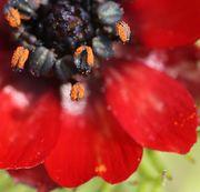 Die Antheren sind schwarz bzw. dunkel bräunlich grün. Die Pollen sind kräftig orangefarben. (Bild: W. Wohlers, JKI)