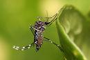 Aedes aegypti.jpg