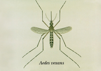 Aedes vexans.png