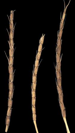 alt=Description de l'image Aegilops tauschii - Afghanistan ARS-3.png.