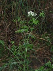 Hundspetersilie: Pflanze– Meneerke bloem, CC BY-SA 3.0