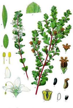 alt=Description de l'image Agathosma betulina - Köhler–s Medizinal-Pflanzen-020.jpg.