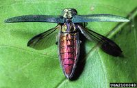 Agrilus planipennis IPM2100048.jpg