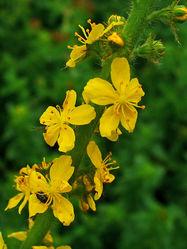 Blüten– H.Zell, CC BY-SA 3.0