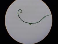Agrostis gigantea Blattquerschnitt