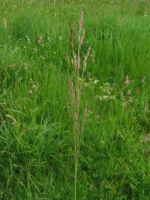 Agrostis stolonifera.jpeg