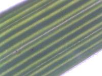 Agrostis tenuis Blattspreite