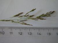Agrostis tenuis Rispe