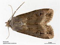 Agrotis ipsilon aneituma.jpg