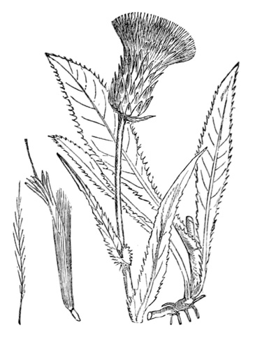 Alantdistel (Pflanzentafel Natura Miriquidica e.V.).pdf