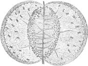 Ein flach offen gedrücktes Blatt, stark vergrößert (aus Darwin 1897)