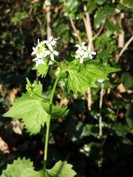 Knoblauchsrauke: Pflanze– Stefan.lefnaer, CC BY-SA 4.0