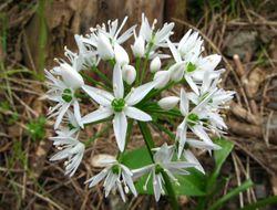 Bärlauch: Blüte– Ra'ike, CC BY-NC-SA 3.0