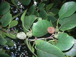Alnus cordata fruits JR Press 750.JPG