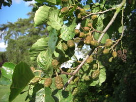 Alnus glutinosa fruit JR Press 688.JPG