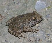 Jungtier, ungefähr 15 mm groß (Photo: Christian Fischer)