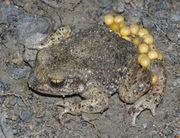 Männchen mit frischen Eiern (Photo: Christian Fischer)