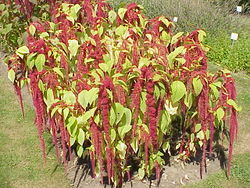 alt=Description de l'image Amaranthus caudatus1.jpg.