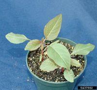 Amaranthus palmeri IPM5437982.jpg