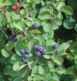 alt=Description de l'image Amelanchier alnifolia.jpg.