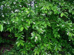 Amerikaanse vogelkers Prunus serotina.jpg