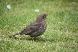 Amsel Weibchen - Romate, CC BY-SA 3.0