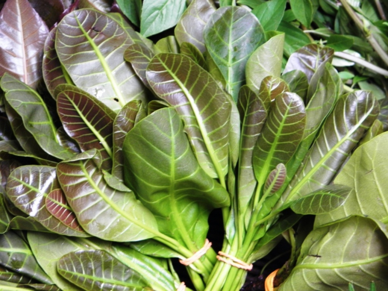 Fichier:Anacardium occidentale (Leaves).png