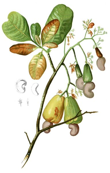 Fichier:Anacardium occidentalis Blanco1.116-cropped.jpg