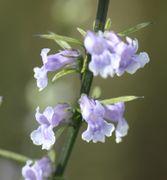 Die Blüten sind ca 5 mm lang. (Bild: W. Wohlers, JKI)