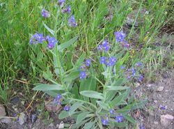 alt=Description de l'image Anchusa azurea habito.jpg.