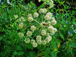 Arznei-Engelwurz: Blüte– H. Zell, CC BY-SA 3.0