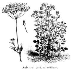 Anis vert Vilmorin-Andrieux 1904.png