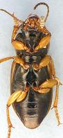 Anisodactylus sanctaecrucis2.jpg
