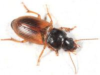 Anisodactylus sanctaecrucis BugGuide187791.jpg