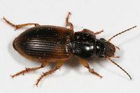 Anisodactylus sanctaecrucis BugGuide47016.jpg