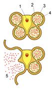 Schematische Darstellung einesStaubbeutels (Querschnitt): 1:Leitbündel, 2:Epidermis, 3:Faserschicht, 4:Tapetum, 5:Pollen