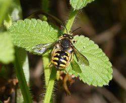 Große Wollbiene: Männchen - gailhampshire, CC BY-SA 2.0