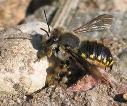 Große Wollbiene: Männchen - soebe, CC BY-SA 3.0