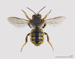 Große Wollbiene: Männchen - Didier Descouens, CC BY-SA 3.0